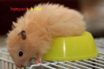 http://www.homyachok-iko.ucoz.ru/img/hamster1.jpg